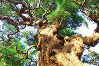 Cận cảnh cây phi lao cổ thụ được đại gia Lào Cai mua giá gần 400 triệu