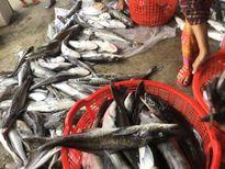 Vụ cá nuôi lồng chết ở Thừa Thiên - Huế: Thông số pH trong mẫu nước cao hơn bình thường