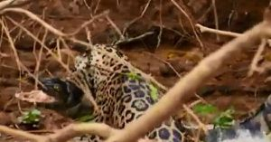 Báo đốm phục kích cá sấu