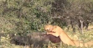 Cái kết bất ngờ khi trâu rừng 'lạc trôi' giữa đàn sư tử háu đói