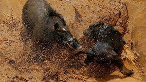 Chó săn tử chiến kịch liệt với lợn rừng