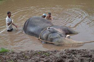 Thái Lan giải cứu voi mắc kẹt dưới kênh vì mưa lũ