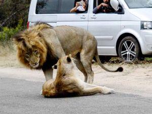 Sư tử ngang nhiên làm 'chuyện ấy' trên đường gây ách tắc giao thông