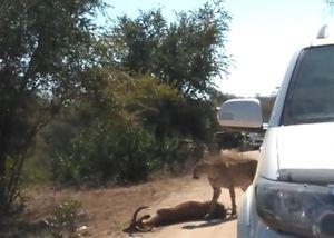 Bị báo săn truy sát, linh dương đâm sầm vào ôtô