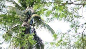 Người đàn ông sống trên cây dừa suốt 3 năm không chịu xuống đất