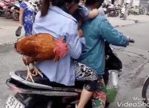 Chú gà trống đứng trên xe máy cùng chủ đi dạo khắp phố phường hot MXH