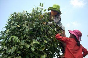 Nông dân lao đao vì tiêu rớt giá