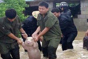 Lợn ngoác miệng cười khi được cứu khỏi nước lũ ở Trung Quốc