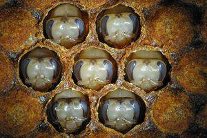 Tìm ra 'bí mật' khiến ong mật thành ong chúa