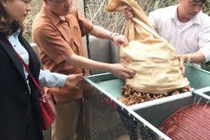 Cú điện thoại 'lạ' giải cứu 70 tấn nghệ đỏ cho đồng bào Mông, Thái