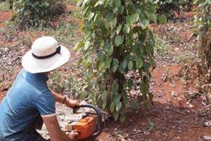 Giá tiêu giảm còn 54.000 đ/kg, nông dân dùng cả cưa máy chặt tiêu