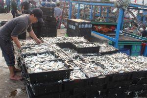 Ngư dân miền Trung liên tiếp được mùa cá