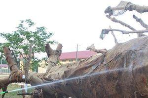 Thông tin mới nhất về nguồn gốc 3 cây 'quái thú'