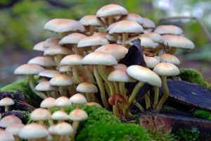 Hà Giang: Ngộ độc nấm làm 3 người chết, 1 người nguy kịch