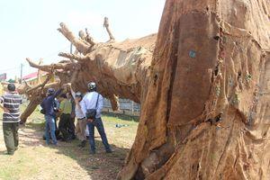 Vụ cây khủng như 'quái thú': Chủ cây đã trình 2 hồ sơ gốc?
