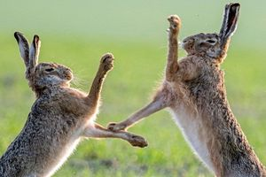 Đẹp mỹ mãn ảnh động vật hoang dã kịch chiến đồng loại