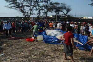 Điều ít biết về lễ an táng cá Ông 'khủng' hay dạt bờ biển VN