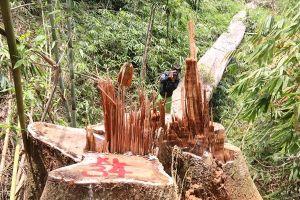 Quảng Nam: Phát lệnh truy nã hai đối tượng tổ chức phá rừng gỗ lim xanh