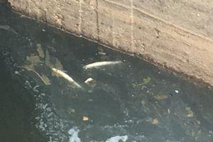 Cá chết bốc mùi trên kênh đổ ra sông Nhật Lệ