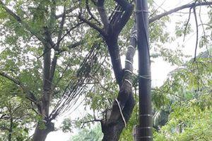 Hà Nội: Nghi vấn cây sưa đỏ hơn 20 năm tuổi 'bay gốc' giữa đêm mưa bão