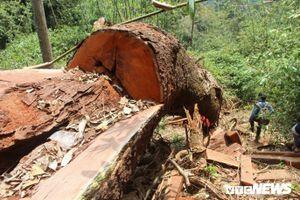 Chủ mưu phá rừng lim xanh ở Quảng Nam, 2 nghi can bị truy nã ra đầu thú