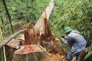 Vụ phá rừng lim cổ thụ ở Quảng Nam: 2 đối tượng bị truy nã ra đầu thú