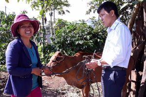 Trao bò giống sinh sản cho đồng bào DTTS nghèo ở Gia Lai