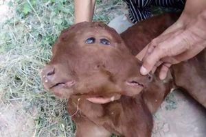 Kỳ lạ bê đột biến gen có 2 mặt, 2 tai, 2 miệng tại Trung Quốc