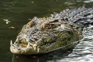Cận cảnh nụ cười biến dạng của cá sấu sau cuộc tử chiến với đồng loại