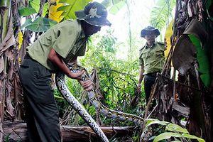 Hậu Giang: Thả 02 cá thể Trăn gấm về rừng