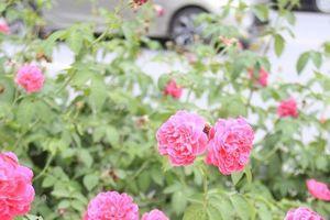 Mê mẩn với 'con đường hoa hồng' đầu tiên tại Hà Nội
