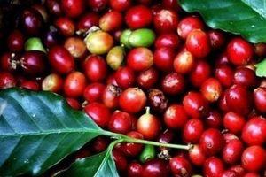 Giá nông sản hôm nay 23/8: Giá tiêu ì ạch tăng, giá cà phê ở mức đáy 50 năm