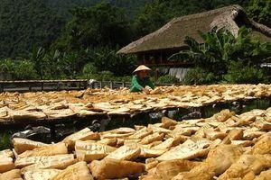 Măng mai xóa đói giảm nghèo cho người dân Lâm Thượng