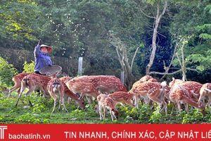 Xã nuôi nhiều hươu nhất Hà Tĩnh thu 15 tỷ đồng từ lộc nhung