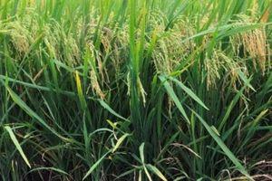 Sẽ có nhiều giống lúa chịu mặn thích ứng biến đổi khí hậu