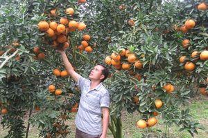 Hà Giang: Nâng cao uy tín của thương hiệu cam sành
