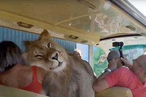 Thót tim khi chứng kiến cảnh sư tử nhảy chồm lên xe, âu yếm dụi đầu liếm mặt khách du lịch