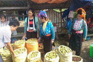 Bắc Yên (Sơn La): Cây sơn tra giúp người dân thoát nghèo