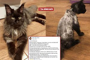Tưởng bị ghẻ, Hari Won cạo sạch lông mèo 3.000 USD khiến Trấn Thành câm nín