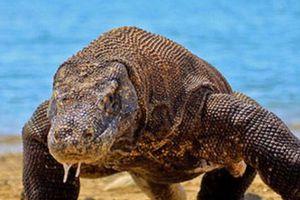 Du khách Mỹ nhanh trí thoát khỏi sự tấn công của rồng Komodo