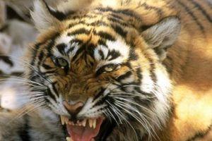 Con hổ cái tinh khôn 'thích thịt người', hại chết 13 người ở Ấn Độ