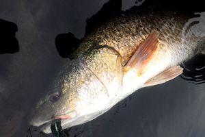 Ngư dân Quảng Bình bắt được cá nghi là sủ vàng nặng 3kg