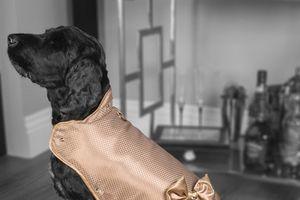 Ai sẵn lòng chi 3,1 tỉ đồng mua áo giáp vàng cho chó cưng?