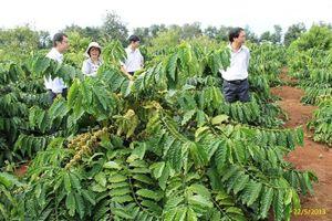 Trồng xen để phát triển cà phê bền vững