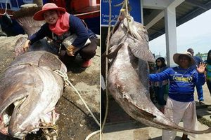 Cá mú hoang dã, nặng tới 200kg bị tóm gọn
