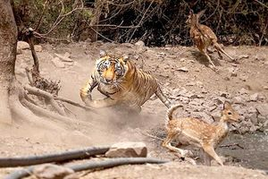 Trước nhiếp ảnh gia, hổ vằn ấm ức vì săn hươu bất thành
