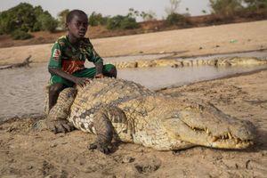 Ảnh động vật tuần: Cậu bé cưỡi lưng cá sấu 'khủng', hổ dữ thích thú...