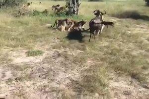 Clip: Không thể tin nổi linh dương đầu bò chiến thắng 8 con sư tử