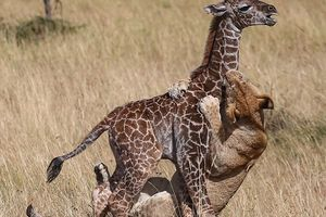 Bầy sư tử tinh quái đánh đuổi hươu mẹ to khỏe để xơi tái hươu con