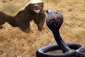 Cuộc chiến sinh tồn: Sở hữu nọc độc chết người, rắn hổ mang vẫn bị 'ăn tươi nuốt sống'